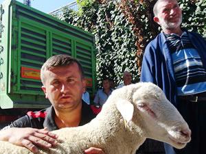 Köylünün umudu, Merinos koyunu