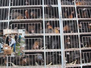 Ziraat Odası, 2 bin beş yüz adet yumurta tavuğu dağıttı