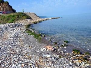 2 ölü yunus sahile vurdu