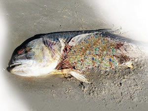 Mikroplastik kirliliği ve deniz ürünleri güvenliği