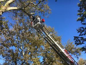 Ereğli'nin tarihi çınar ağaçlarına bakım yapılıyor