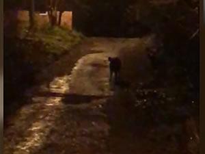 Mahalleye inen domuzlar cep telefonu kamerasıyla görüntülendi
